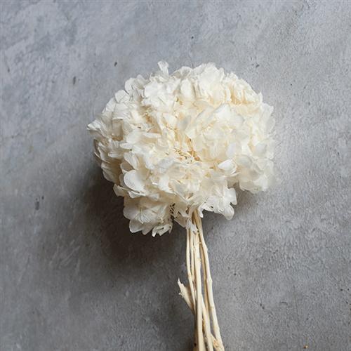 hydrangea preserved